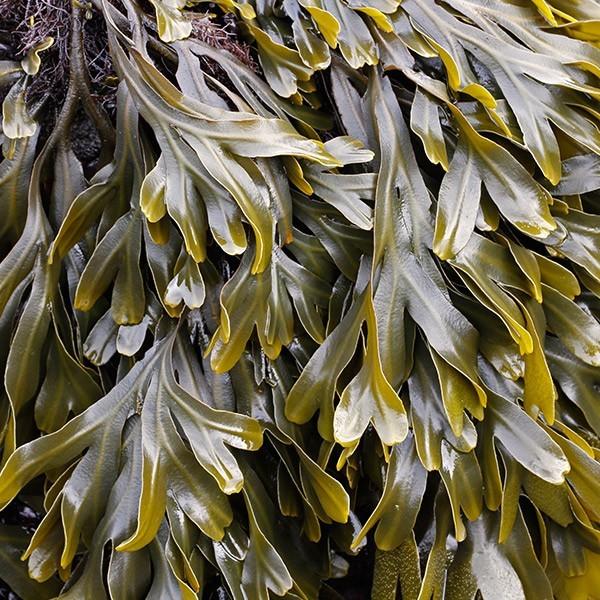 algus fucus