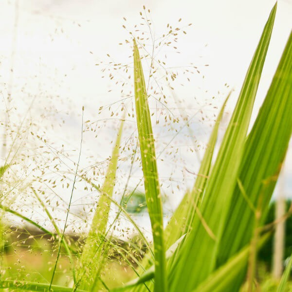 La pianta della gramigna
