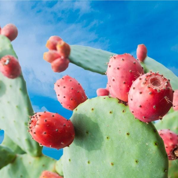 è vero che il cactus viene utilizzato per perdere peso