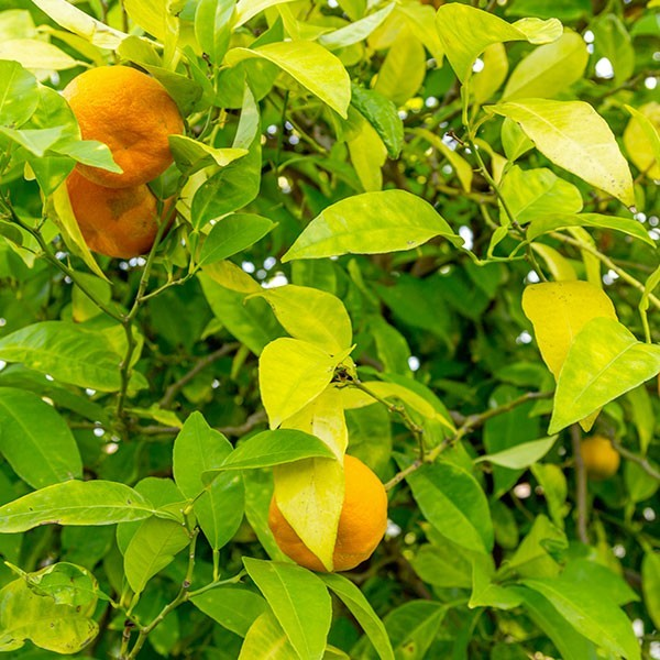 Una pianta di arancio amaro in frutto