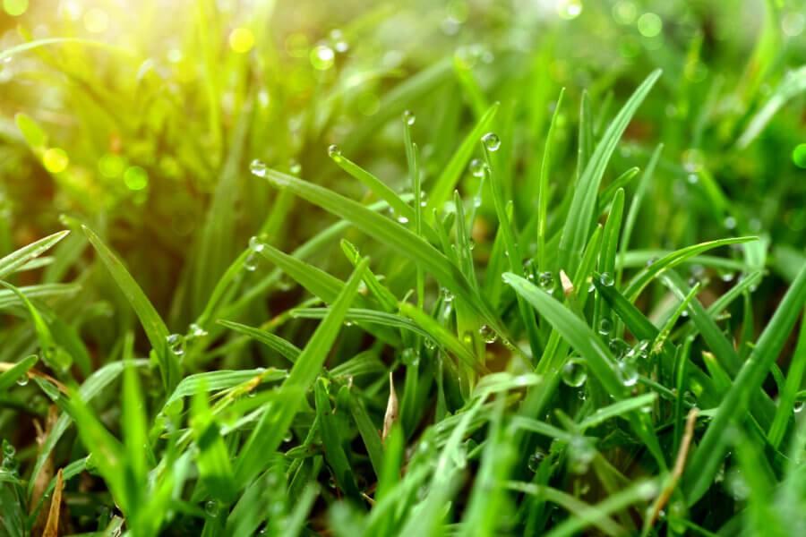Un campo di gramigna