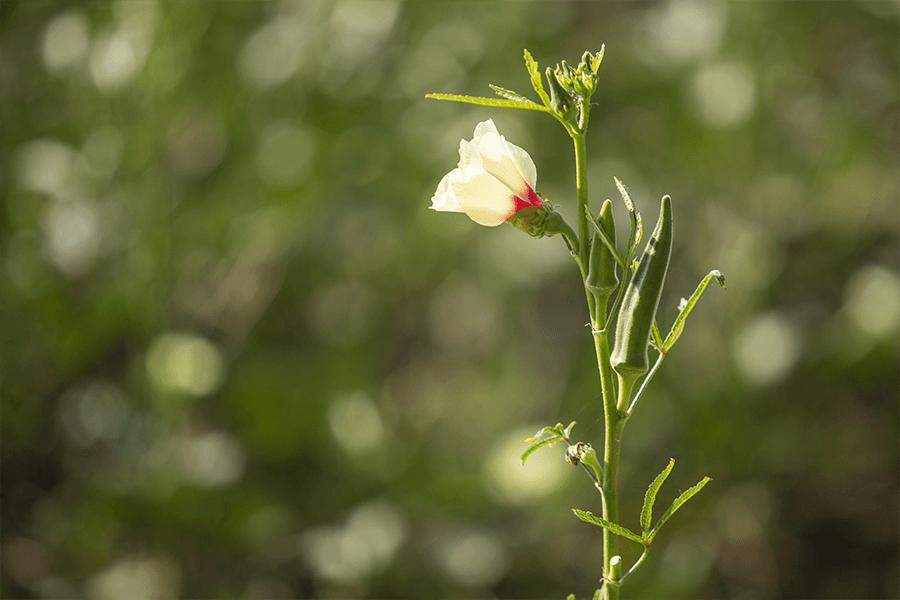 Okra in fiore
