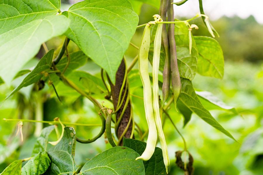 pianta di fagiolo bianco