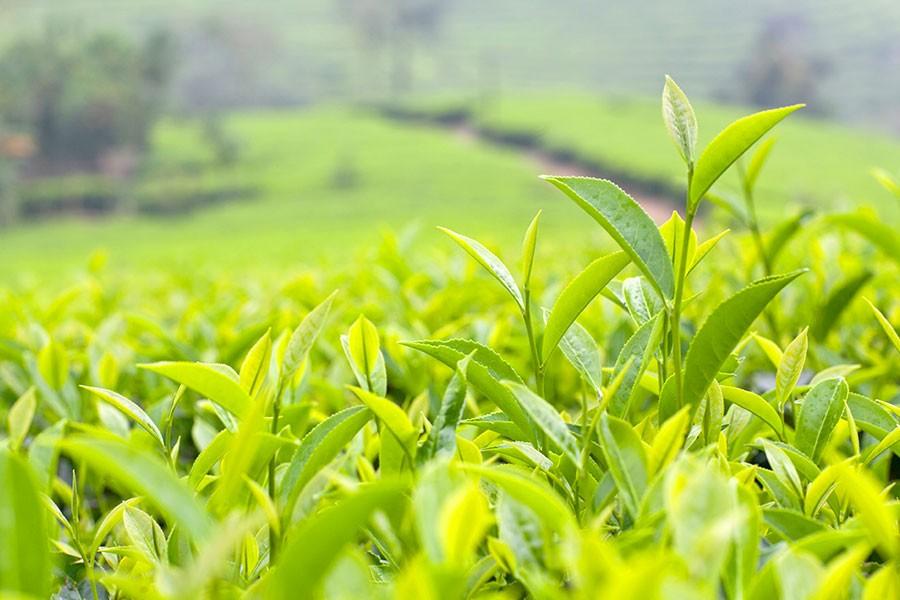Piantagione te verde giapponese