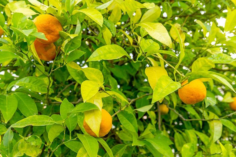 Una pianta di arancio amaro