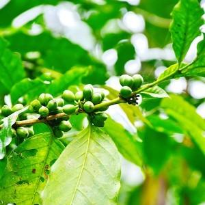 Pianta di caffè verde